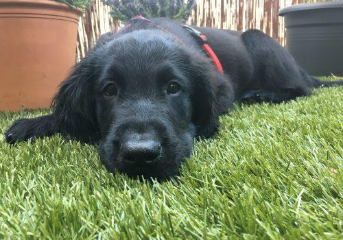 süßer schwarzer Hund auf grünem Rasen